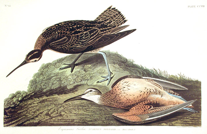"Esquimaux Curlew. From ""The Birds of America"" (Amsterdam Edition). John James AUDUBON."