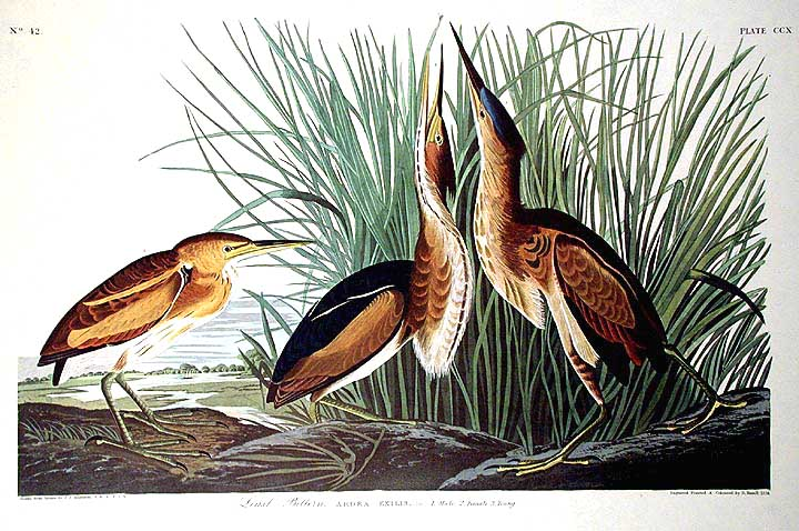 "Least Bittern. From ""The Birds of America"" (Amsterdam Edition). John James AUDUBON."