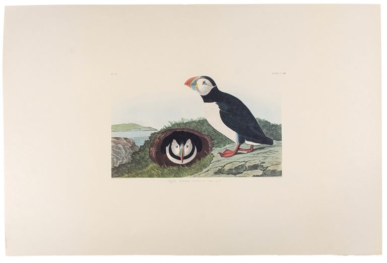 "Puffin. From ""The Birds of America"" (Amsterdam Edition). John James AUDUBON."