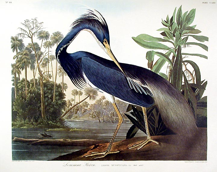"Louisiana Heron. From ""The Birds of America"" (Amsterdam Edition). John James AUDUBON."