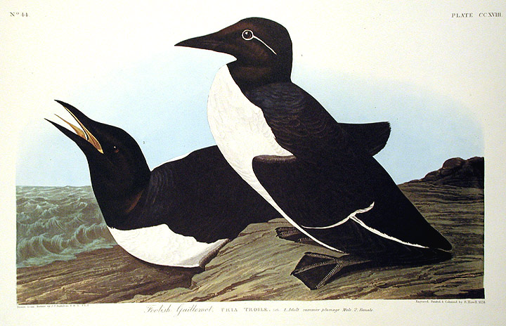 "Foolish Guillemot. From ""The Birds of America"" (Amsterdam Edition). John James AUDUBON."
