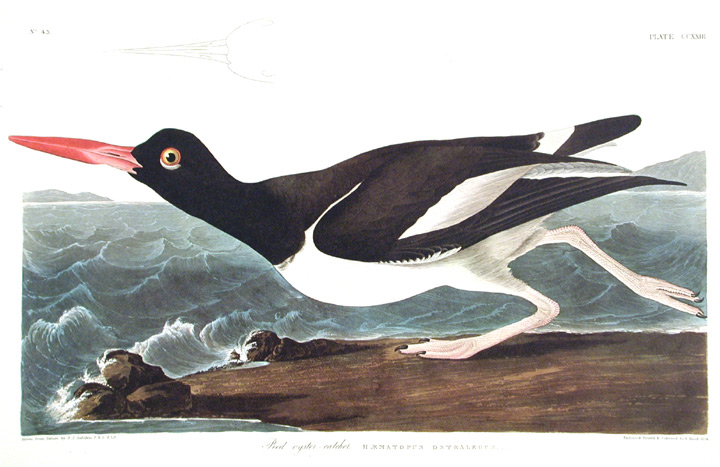 """Pied oyster-catcher. From """"The Birds of America"""" (Amsterdam Edition). John James AUDUBON."""