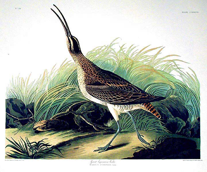 "Great Esquimaux Curlew. From ""The Birds of America"" (Amsterdam Edition). John James AUDUBON."