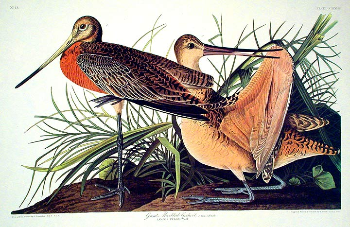 "Great Marbled Godwit. From ""The Birds of America"" (Amsterdam Edition). John James AUDUBON."