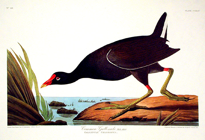 "Common Gallinule. From ""The Birds of America"" (Amsterdam Edition). John James AUDUBON."