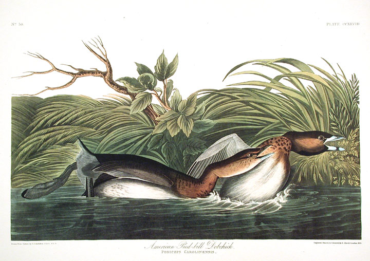 "{rtf1ansideff0{fonttbl {f0fswiss MS Sans Serif;}}pardf0fs20 American Pied-bill Dobchick. From ""The Birds of America"" (Amsterdam Edition)}. John James AUDUBON."
