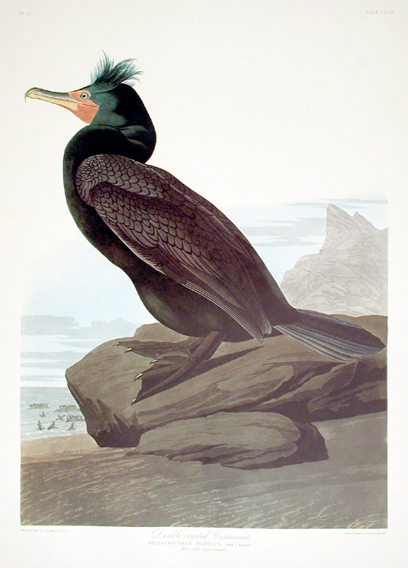 "Double-crested Cormorant. From ""The Birds of America"" (Amsterdam Edition). John James AUDUBON."