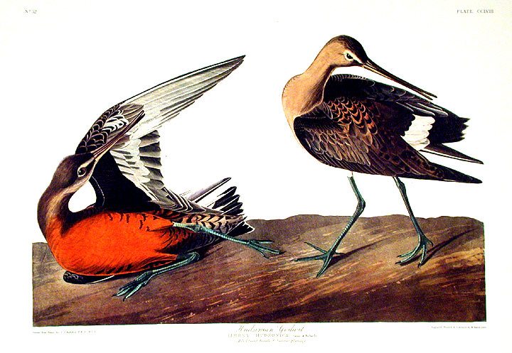 "Hudsonian Godwit. From ""The Birds of America"" (Amsterdam Edition). John James AUDUBON."
