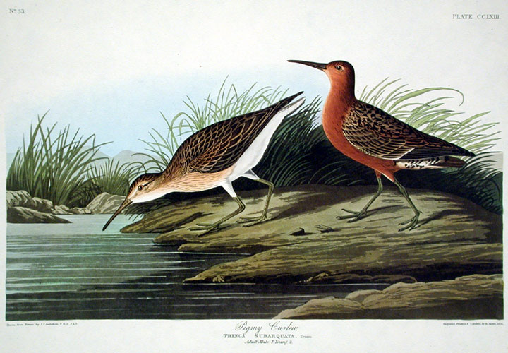 """Pigmy Curlew. From """"The Birds of America"""" (Amsterdam Edition). John James AUDUBON."""