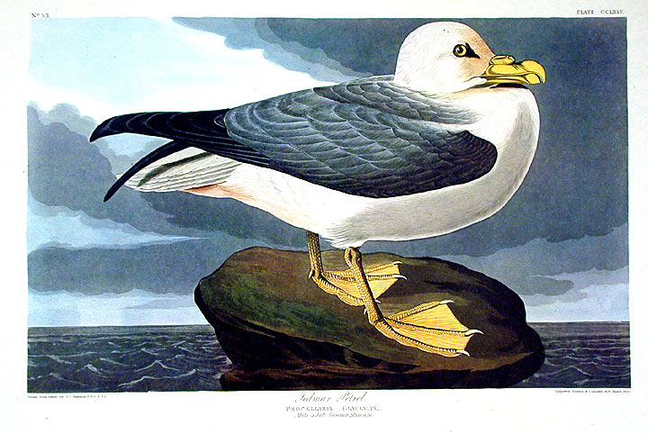 "Fulmar Petrel. From ""The Birds of America"" (Amsterdam Edition). John James AUDUBON."