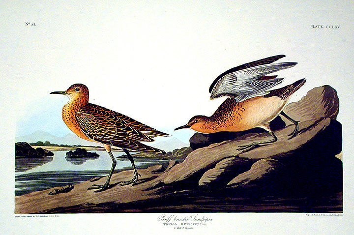 "Buff breasted Sandpiper. From ""The Birds of America"" (Amsterdam Edition). John James AUDUBON."
