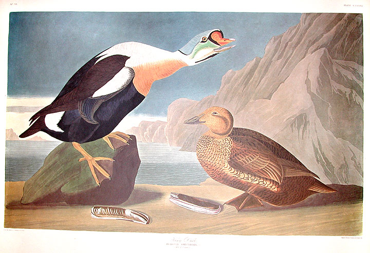 "King Duck. From ""The Birds of America"" (Amsterdam Edition). John James AUDUBON."