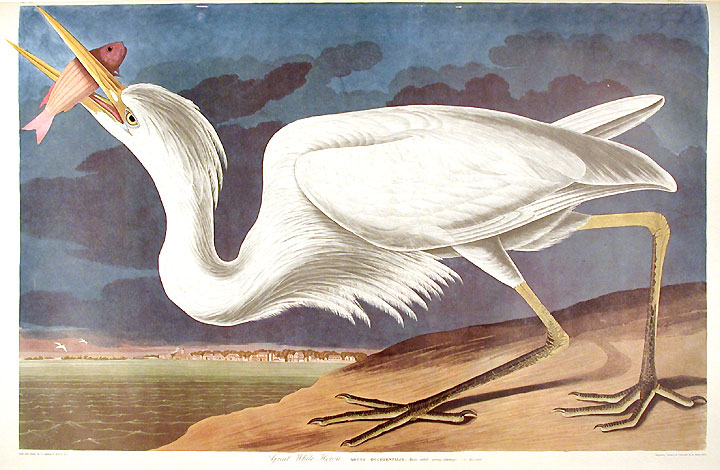 "Great White Heron. From ""The Birds of America"" (Amsterdam Edition). John James AUDUBON."