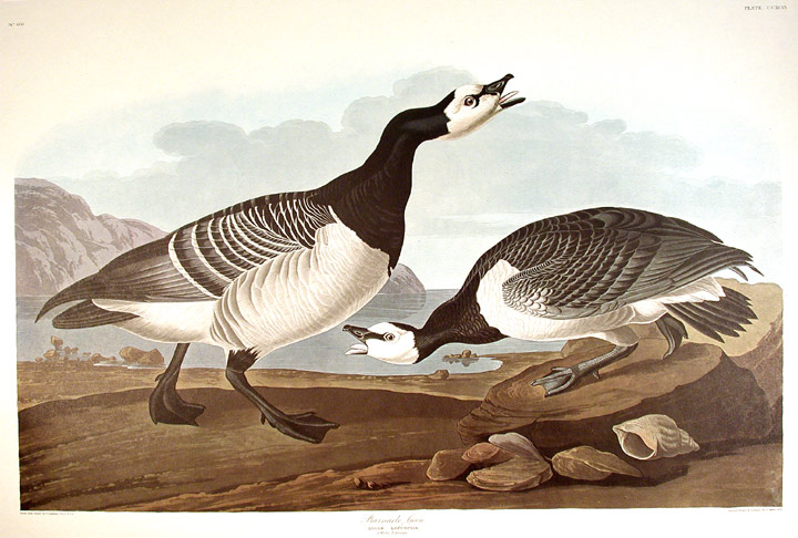 "Barnacle Goose. From ""The Birds of America"" (Amsterdam Edition). John James AUDUBON."
