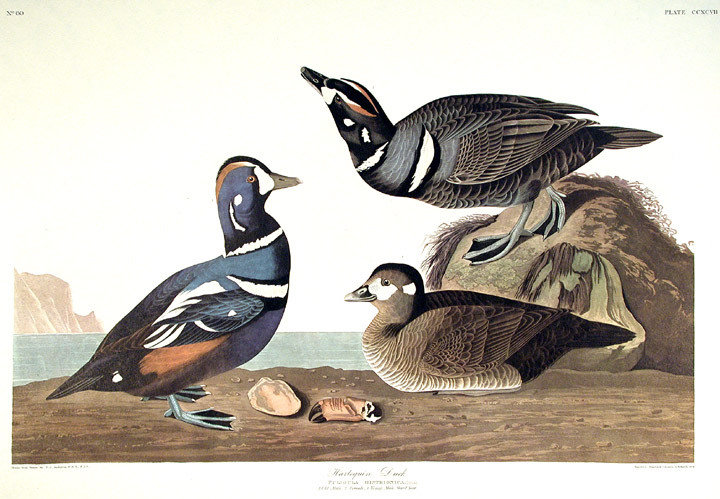 "Harlequin Duck. From ""The Birds of America"" (Amsterdam Edition). John James AUDUBON."