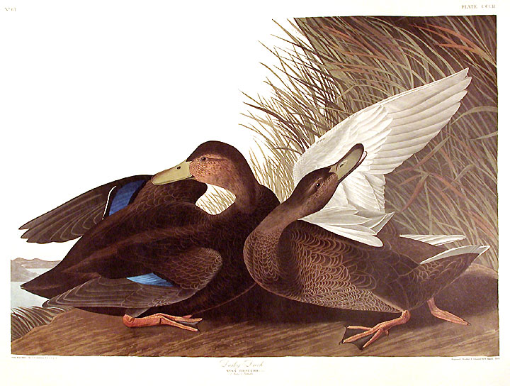"Dusky Duck. From ""The Birds of America"" (Amsterdam Edition). John James AUDUBON."