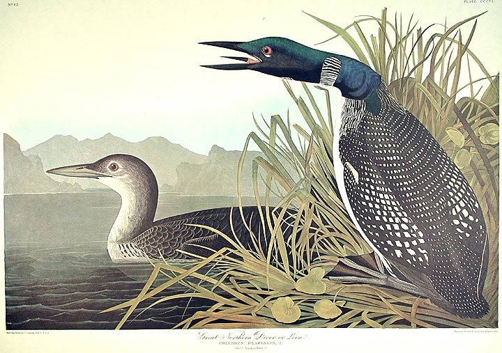 "Great Northern Diver or Loon. From ""The Birds of America"" (Amsterdam Edition). John James AUDUBON."
