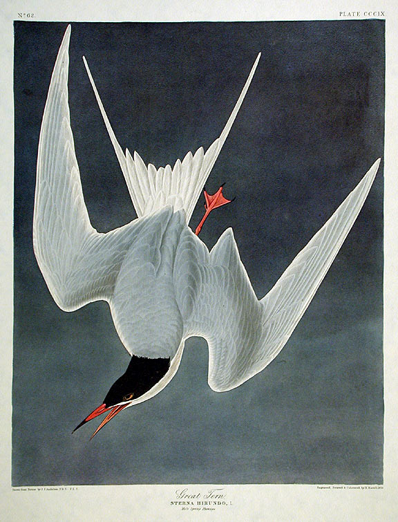 "Great Tern. From ""The Birds of America"" (Amsterdam Edition). John James AUDUBON."