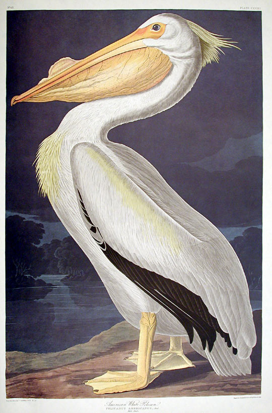 "American White Pelican. From ""The Birds of America"" (Amsterdam Edition). John James AUDUBON."