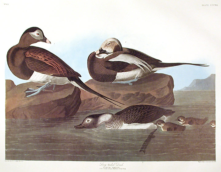 """Long-tailed Duck. From """"The Birds of America"""" (Amsterdam Edition). John James AUDUBON."""