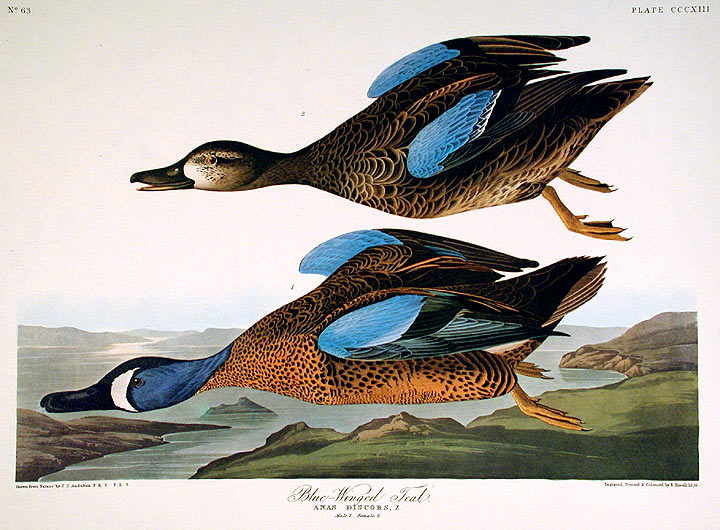 "Blue-Winged Teal. From ""The Birds of America"" (Amsterdam Edition). John James AUDUBON."