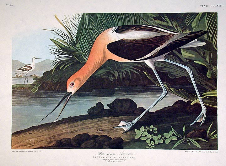 "American Avocet. From ""The Birds of America"" (Amsterdam Edition). John James AUDUBON."