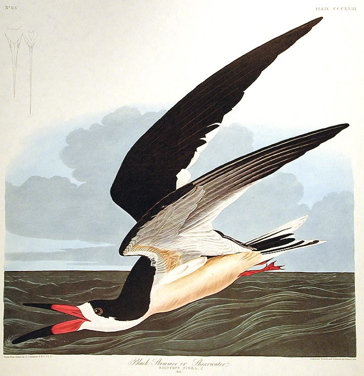 "Black Skimmer or Shearwater. From ""The Birds of America"" (Amsterdam Edition). John James AUDUBON."