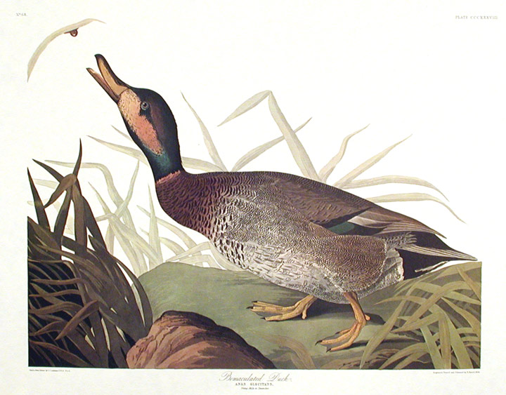 "Bemaculated Duck. From ""The Birds of America"" (Amsterdam Edition). John James AUDUBON."