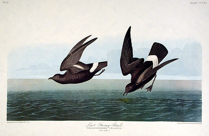 "Least Stormy Petrel. From ""The Birds of America"" (Amsterdam Edition). John James AUDUBON."