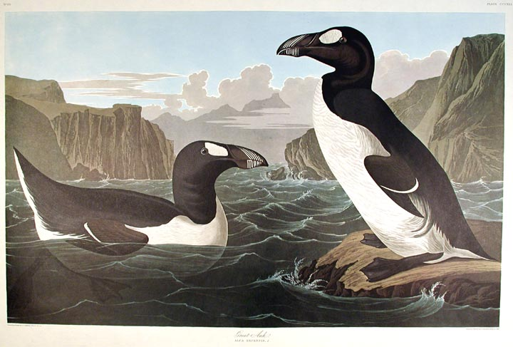 "Great Auk. From ""The Birds of America"" (Amsterdam Edition). John James AUDUBON."
