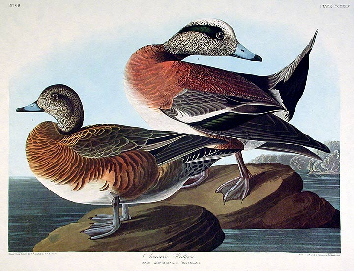 "American Widgeon. From ""The Birds of America"" (Amsterdam Edition). John James AUDUBON."