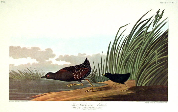 "Least Water-hen. From ""The Birds of America"" (Amsterdam Edition). John James AUDUBON."