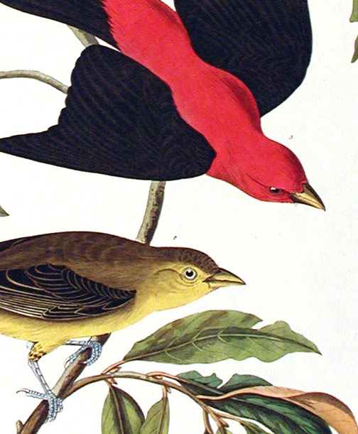"""Louisiana Tanager, Scarlet Tanager. From """"The Birds of America"""" (Amsterdam Edition). John James AUDUBON."""