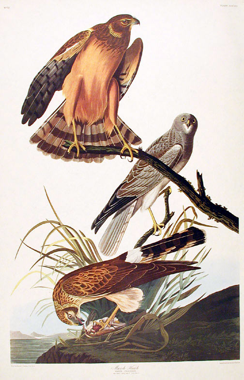 "Marsh Hawk. From ""The Birds of America"" (Amsterdam Edition). John James AUDUBON."