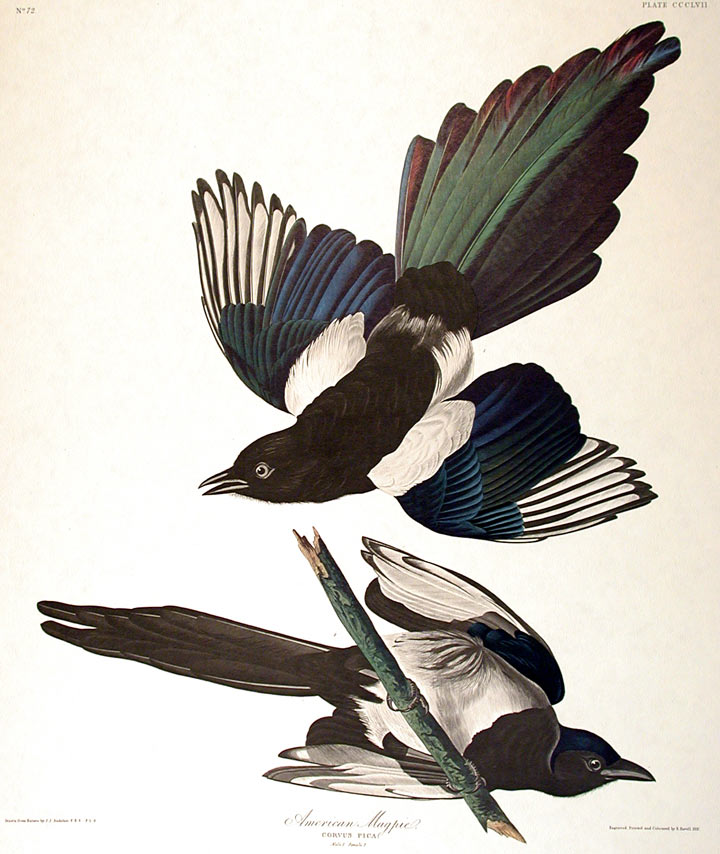 American Magpie From The Birds Of America Amsterdam Edition John James Audubon