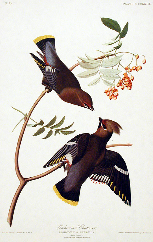 "Bohemian Chatterer. From ""The Birds of America"" (Amsterdam Edition). John James AUDUBON."