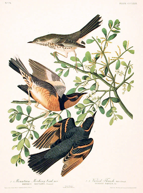 "Mountain Mocking-bird, Varied Thrush. From ""The Birds of America"" (Amsterdam Edition). John James AUDUBON."