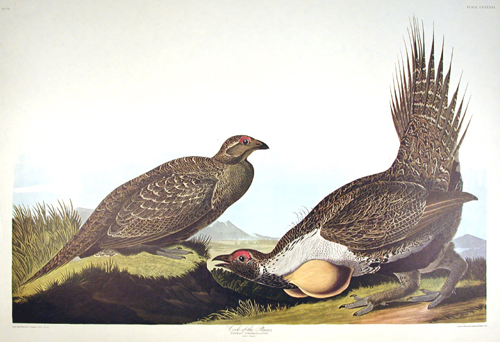 "Cock of the Plains. From ""The Birds of America"" (Amsterdam Edition). John James AUDUBON."