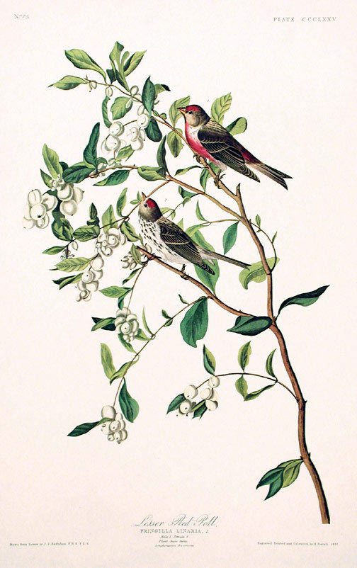 "Lesser Red-Poll. From ""The Birds of America"" (Amsterdam Edition). John James AUDUBON."