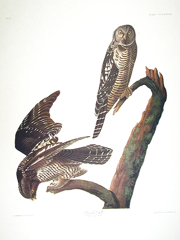 "Hawk Owl. From ""The Birds of America"" (Amsterdam Edition). John James AUDUBON."