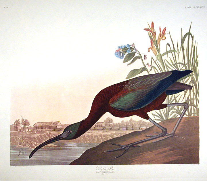 "Glossy Ibis. From ""The Birds of America"" (Amsterdam Edition). John James AUDUBON."