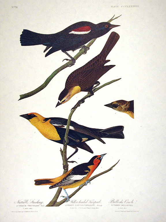 """Nuttall's Starling, Yellow-headed Troopial, Bullock's Oriole. From """"The Birds of America"""" (Amsterdam Edition). John James AUDUBON."""