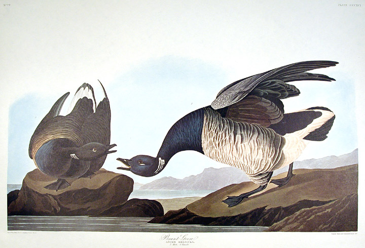 "Brant Goose. From ""The Birds of America"" (Amsterdam Edition). John James AUDUBON."
