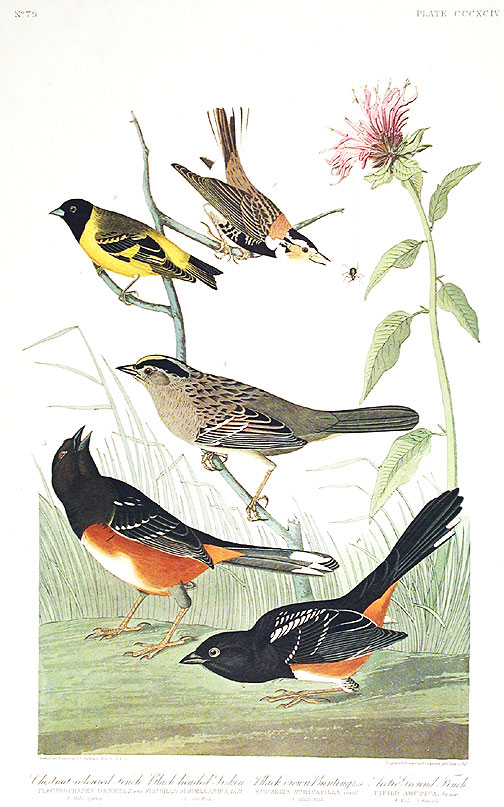"Chestnut-colored Finch, Black-headed Siskin, Black crown Bunting, Arctic Ground-Finch. From ""The Birds of America"" (Amsterdam Edition). John James AUDUBON."