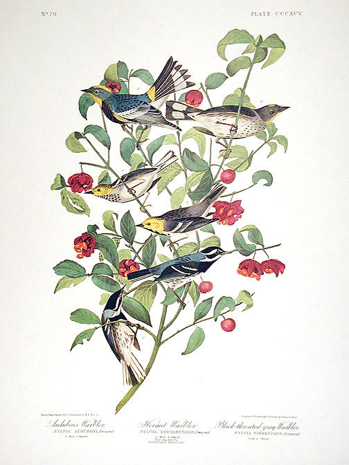 "Audubons Warbler, Hermit Warbler, Black-throated gray Warbler. From ""The Birds of America"" (Amsterdam Edition). John James AUDUBON."