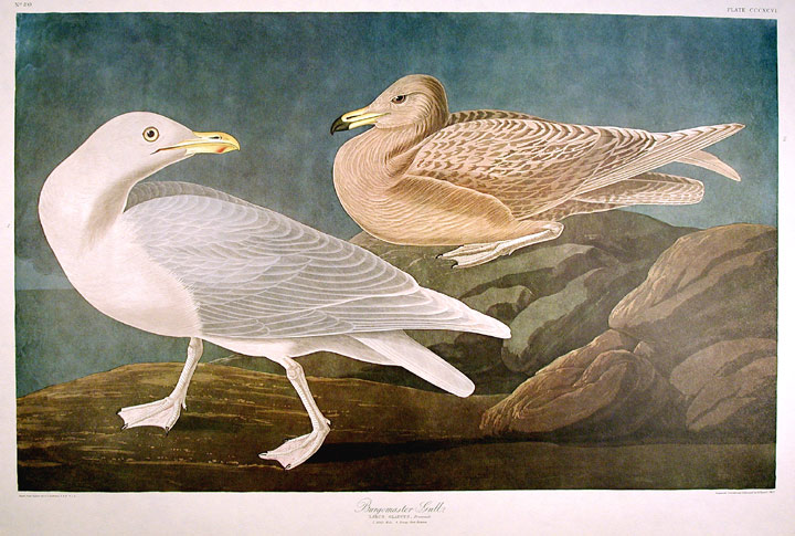 "Burgomaster Gull. From ""The Birds of America"" (Amsterdam Edition). John James AUDUBON."
