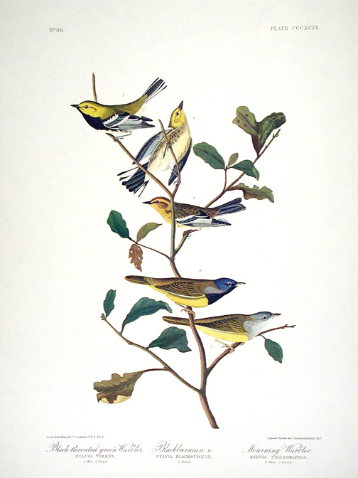 "Black-throated Green Warbler, Blackburnian Warbler, Mourning Warbler. From ""The Birds of America"" (Amsterdam Edition). John James AUDUBON."