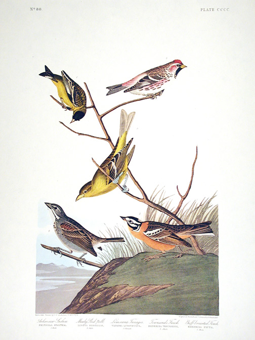 "Arkansaw Siskin, Mealy Red-poll, Louisiana Tanager, Townsend's Finch, Buff-breasted Finch. From ""The Birds of America"" (Amsterdam Edition). John James AUDUBON."