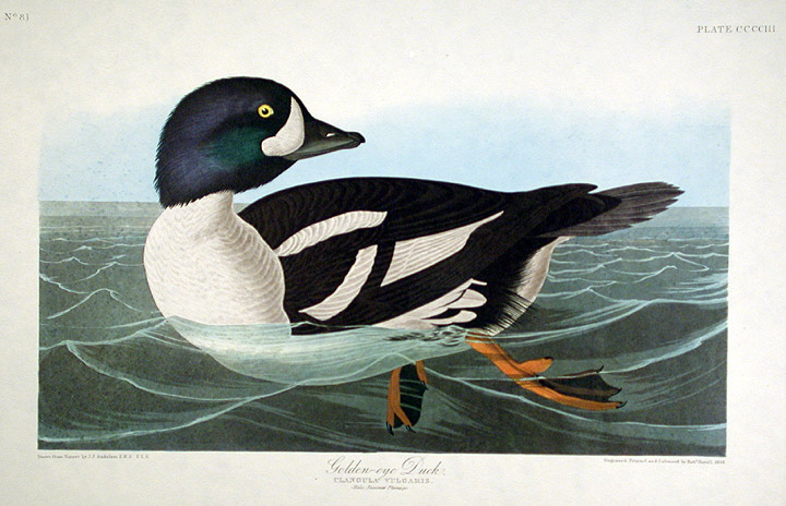"Golden-eye Duck. From ""The Birds of America"" (Amsterdam Edition). John James AUDUBON."