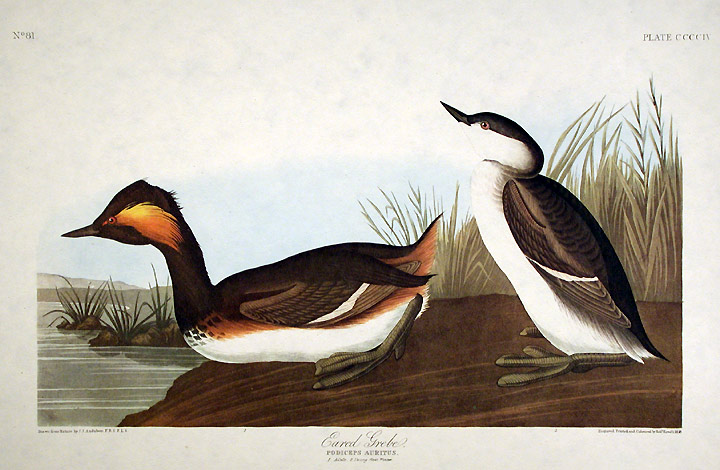 "Eared Grebe. From ""The Birds of America"" (Amsterdam Edition). John James AUDUBON."